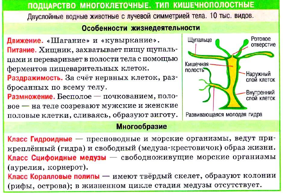 кишечнополостные таблица