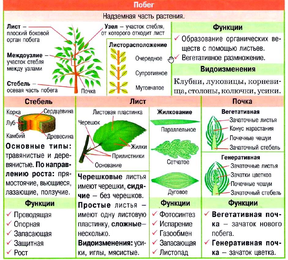 Часть стебля несущая плод