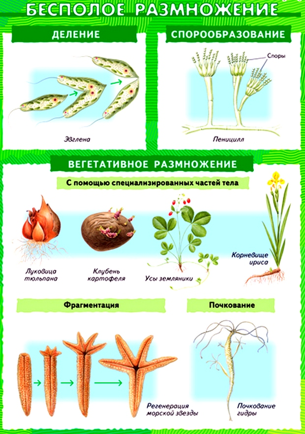 бесполое размножение растений