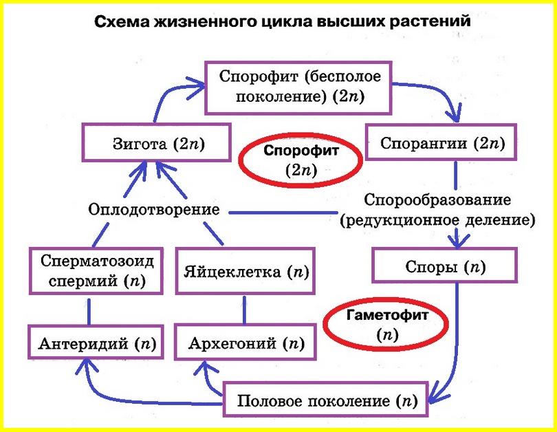 жизненный цикл растений