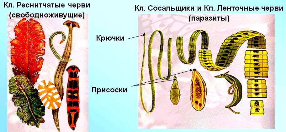 Сообщения о черве сосальщеке