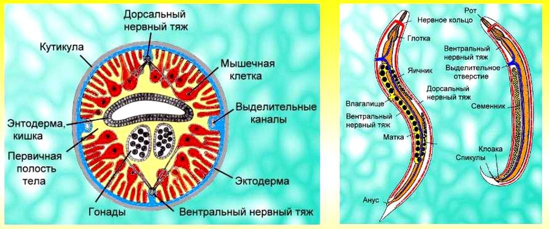 круглые черви кратко