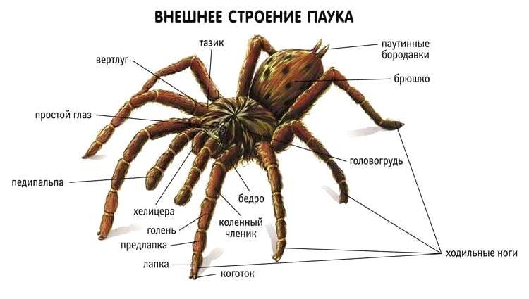 Паукообразные Внешнее строение