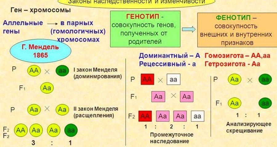 """Конспект """"Основы генетики. Законы наследственности"""" - УчительPRO"""