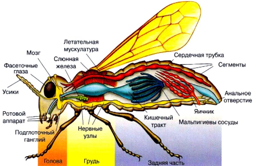насекомое внутреннее строение