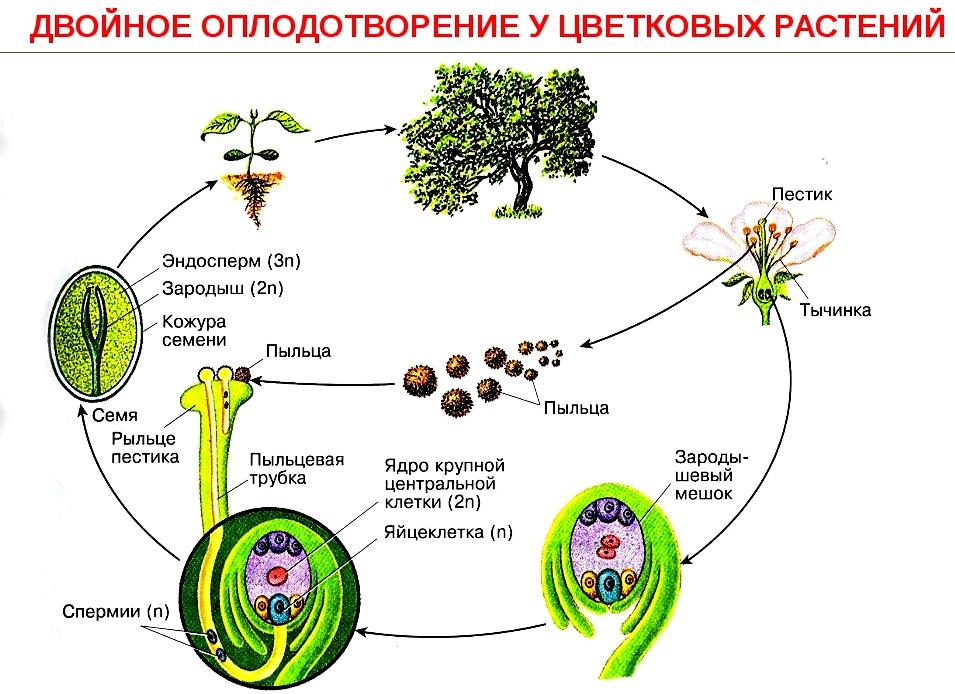Реферат на тему двойное оплодотворение у цветковых растений 4193
