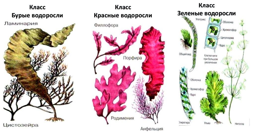 многообразие водорослей