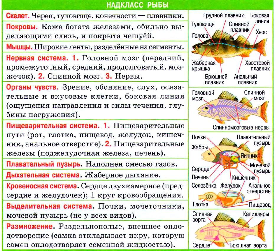 надкласс рыбы таблица