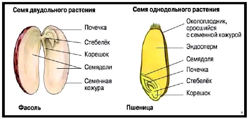 Примеры двухдольных растений семена которых имееют эндосперм