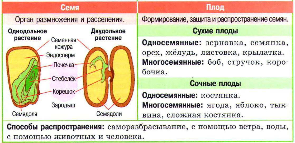 семя и плод