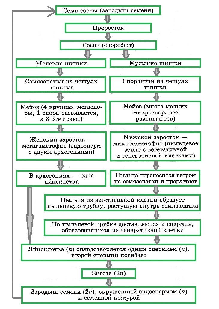 жизненный цикл развития сосны