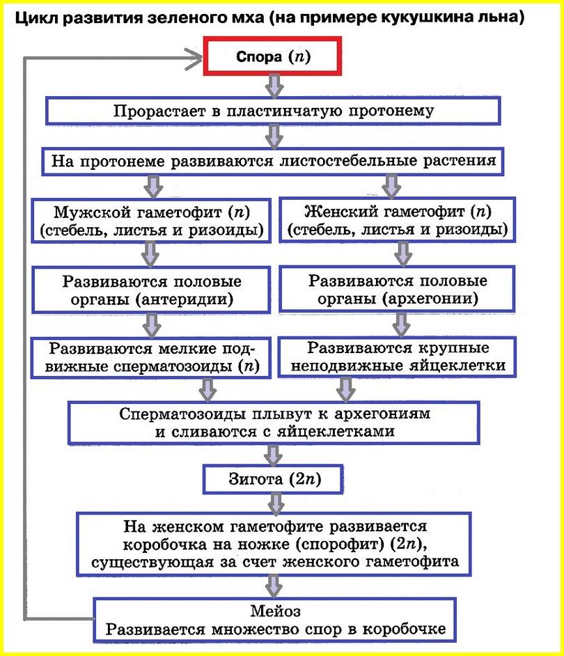 цикл развития мха