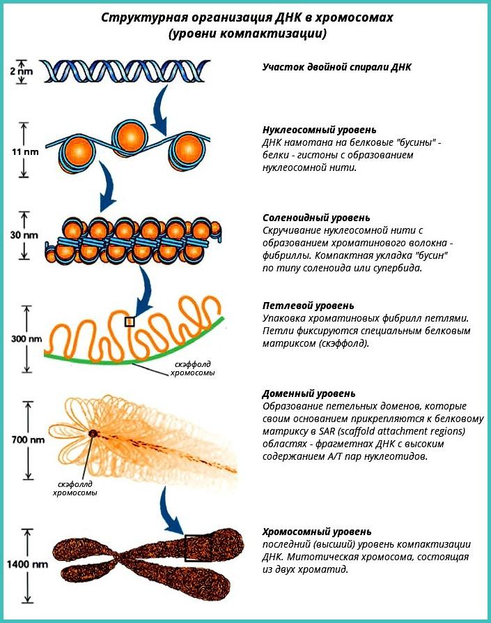 днк в хромосомах