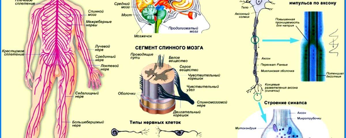 нервная система основные принципы