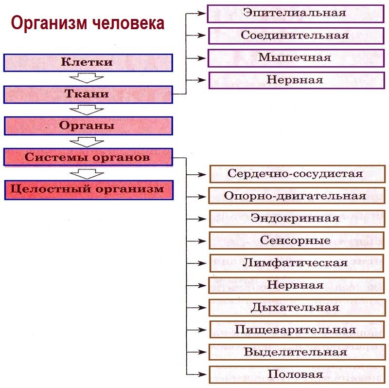 Организм человека. Общий обзор