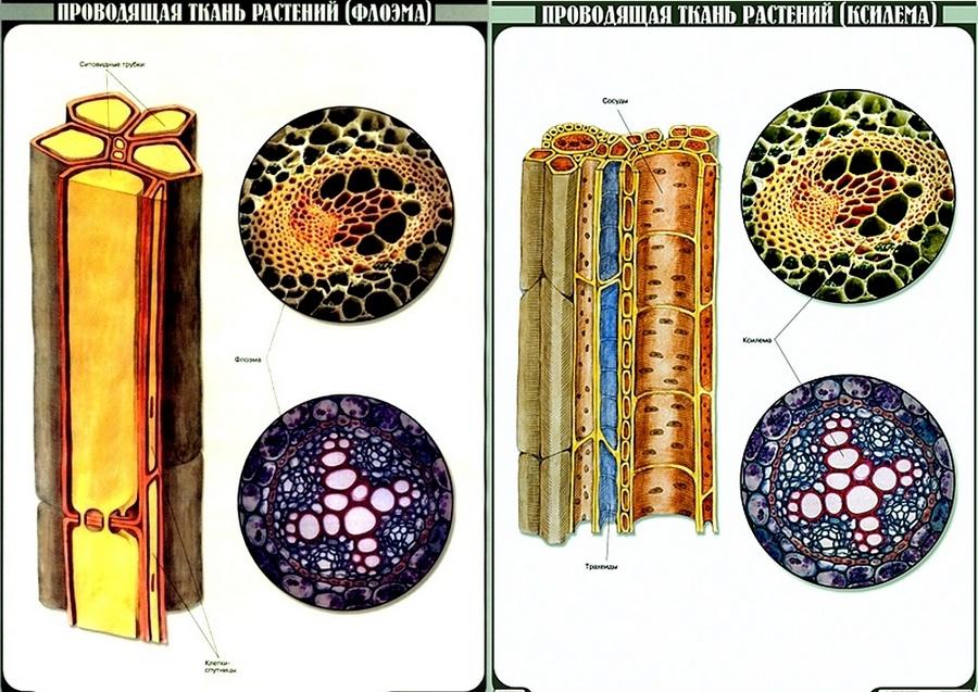 проводящая ткань