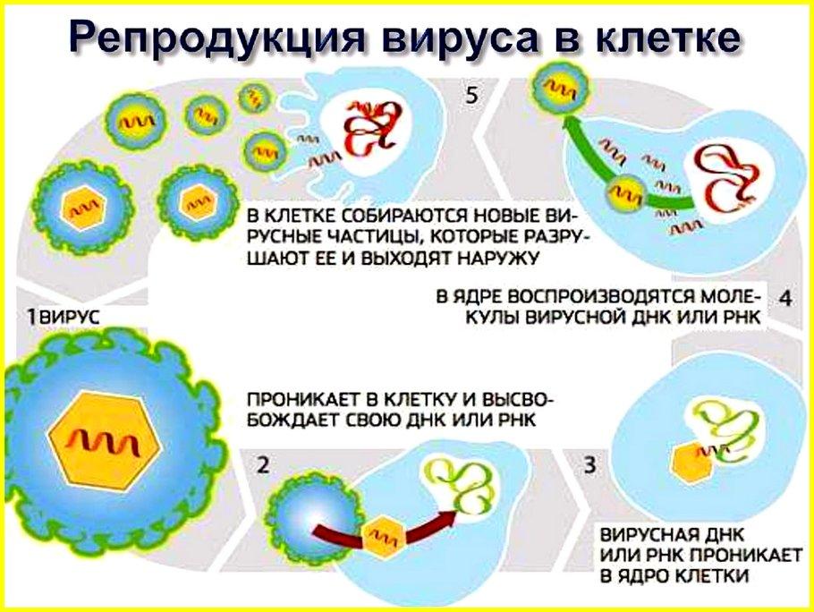 репродукция вируса