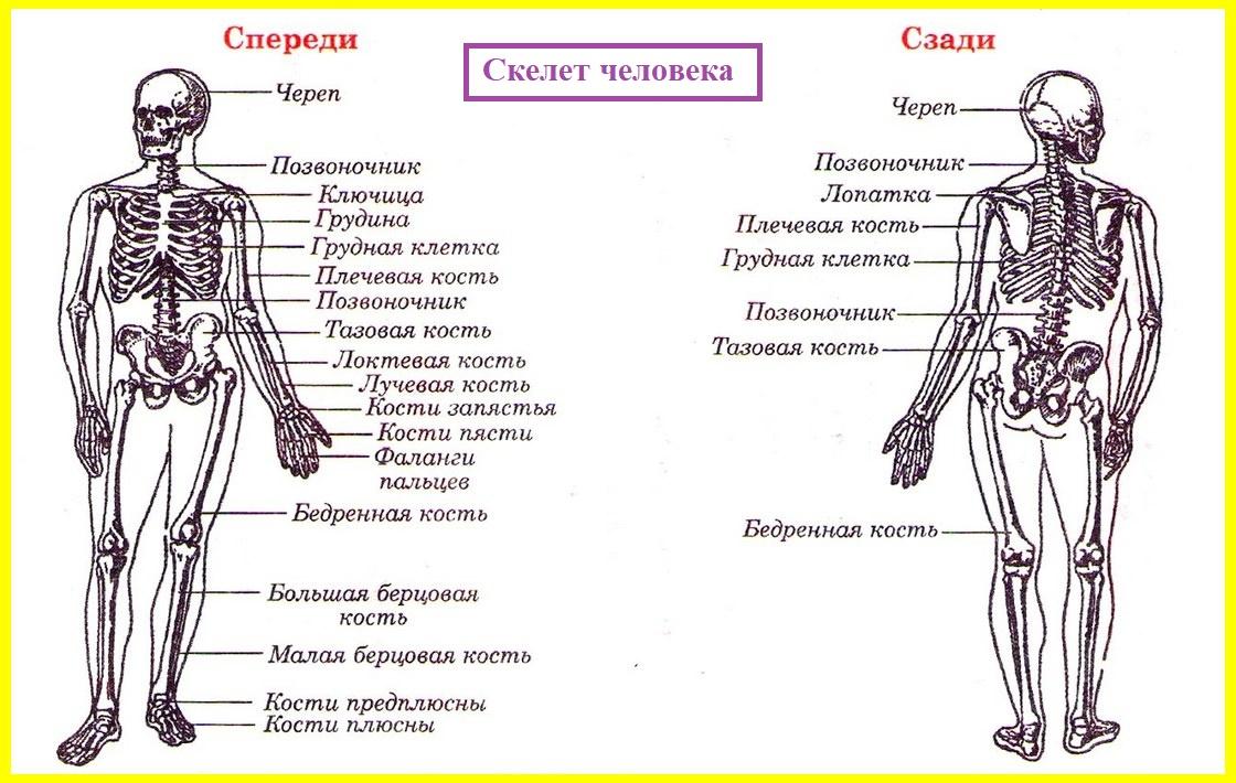 Схема костей человека