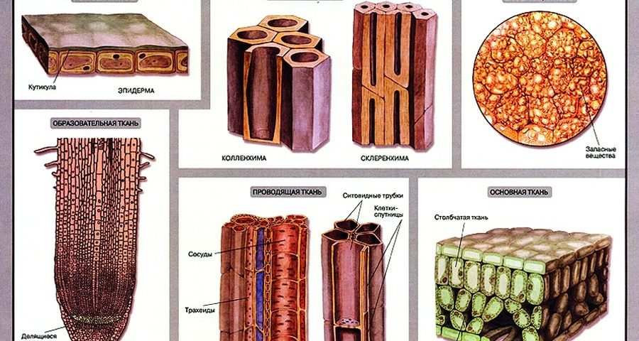 растительная ткань