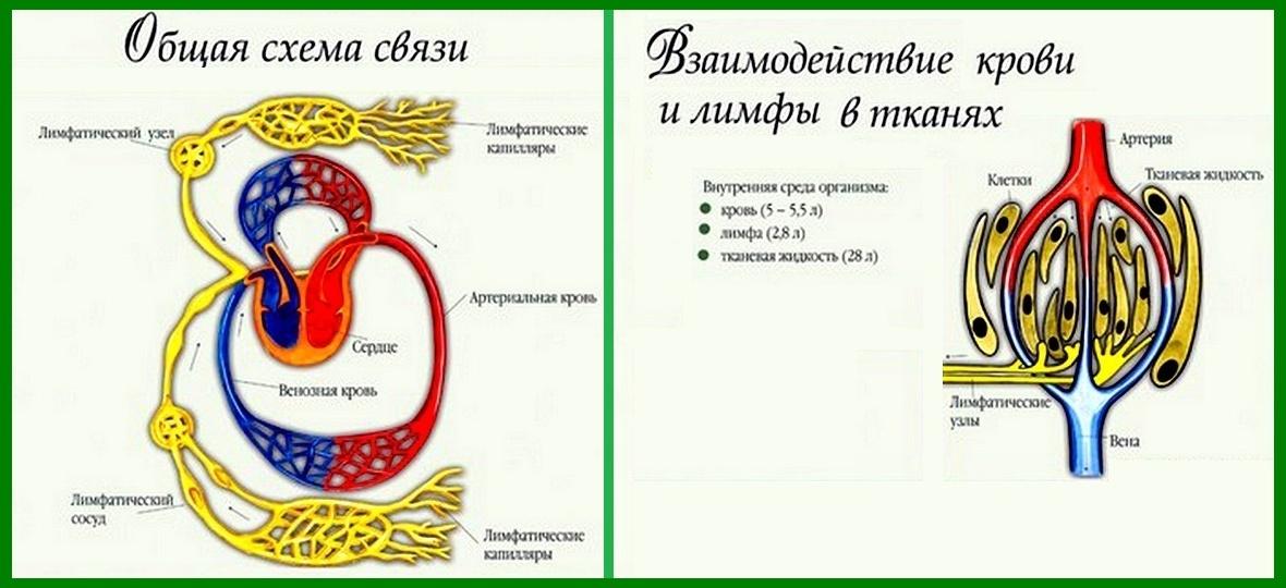 взаимодействие крови и лимфы. сердечно-сосудистая система
