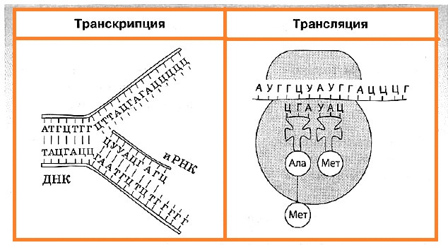 транскрипция трансляция