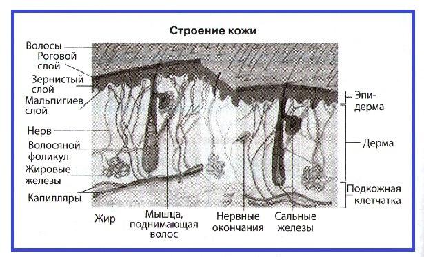 Покровы тела