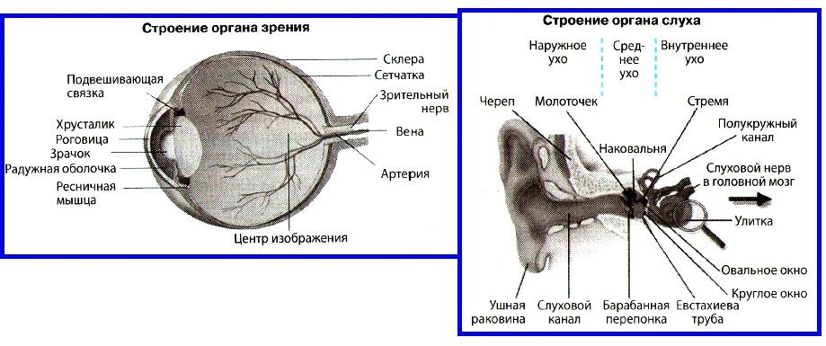 органы зрения и слуха