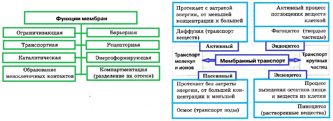 Структура и функции мембран клетки