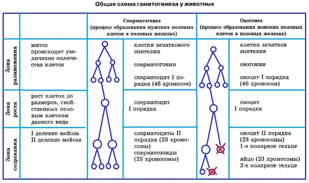 Развитие половых клеток