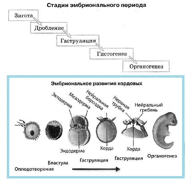 Этапы эмбрионального периода