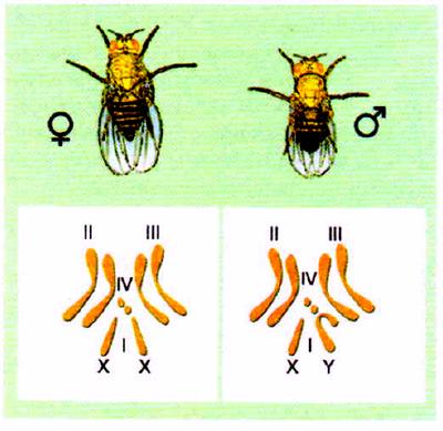 Хромосомные наборы самки и самца дрозофилы