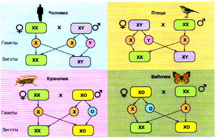Варианты хромосомного механизма определения пола