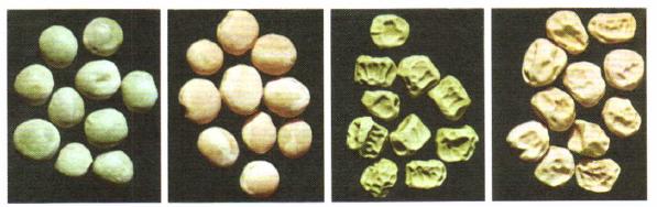Качественные признаки: форма и окраска семян у гороха посевного