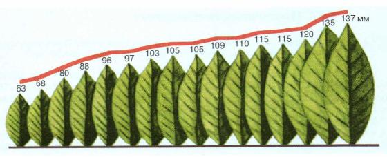 Количественный признак — размеры листьев у лавровишни