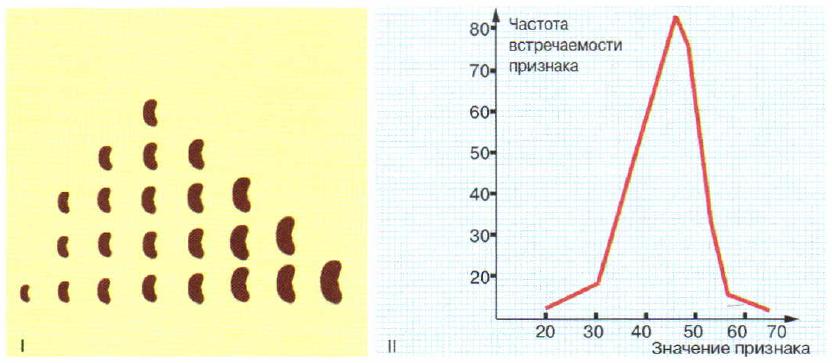 Полигон распределения семян фасоли по величине (I) и массе (II) (по В. Иоганнсену)