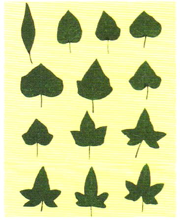 Различная форма листьев плюща, выросших в разных условиях