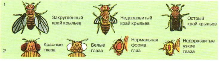 Мутации у дрозофилы