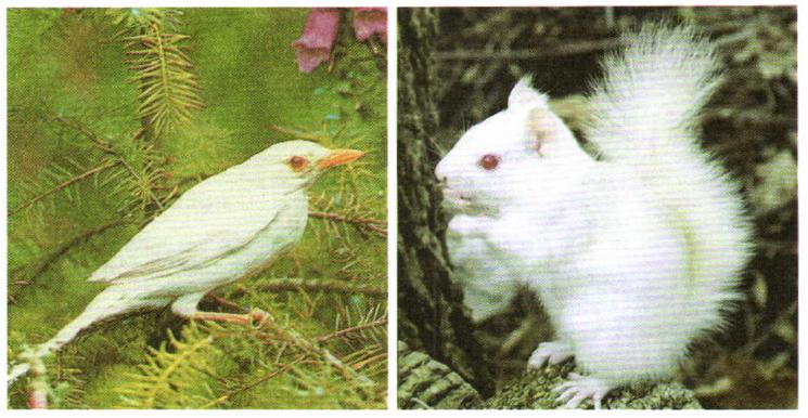 Альбинизм у позвоночных животных