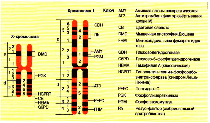 Физические карты Х-хромосомы