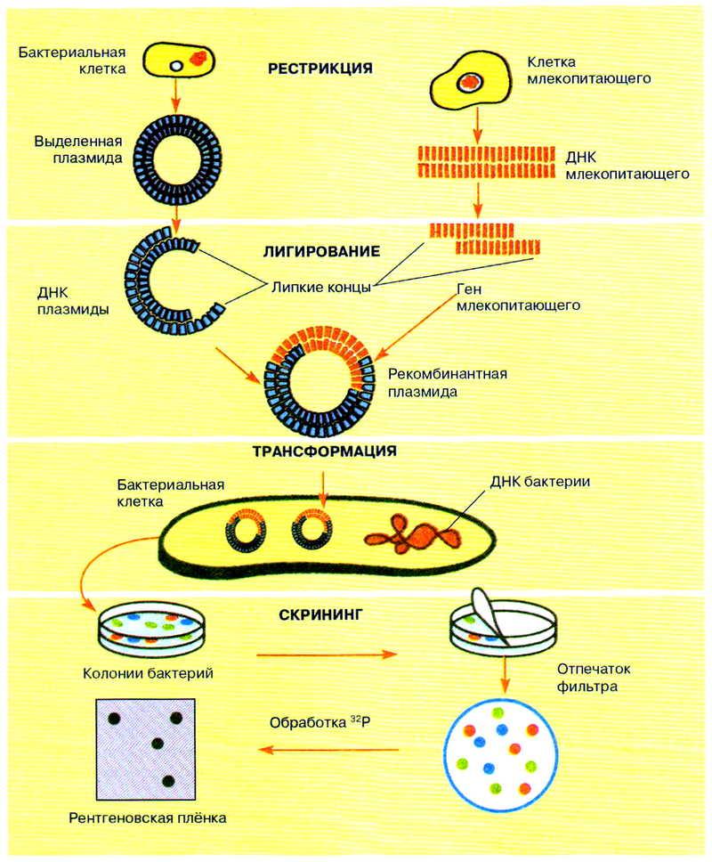 Метод рекомбинантных плазмид