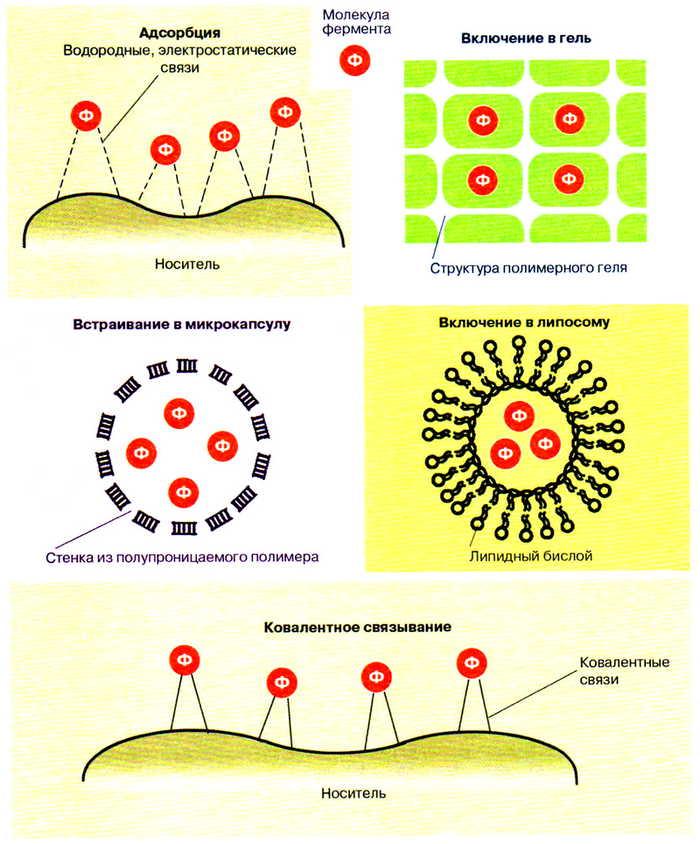 Способы иммобилизации ферментов