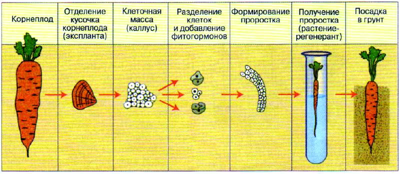 Микроклональное размножение моркови