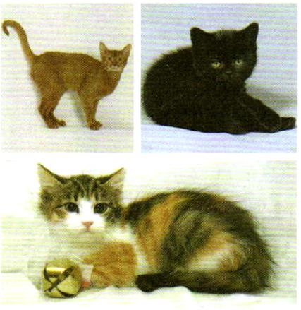 Окраска шерсти у кошек сцеплена с полом